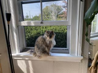 Bella, our family's Norwegian forest cat