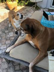 This is our Rhodesian Ridgeback Duma, and a Catahoula Lola, that we we take care of for a friend.