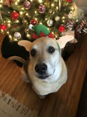 This is Rufus not-so-happily modeling his festive holiday headband.