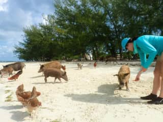 Feeding the Pigs and Chickens, Bahamas
