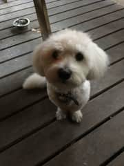 Snowy with a haircut