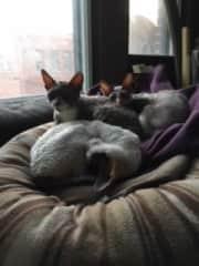 Catsitting three Cornish Rex in Montreal, QC