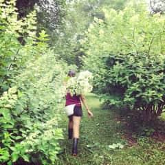 Julia Wyatt hard working harvesting hydrangea on a flower farm!