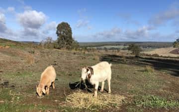 Goat-sitting in australia