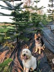 "My ""guard dogs"" in my Norfolk Pine Christmas tree farm"