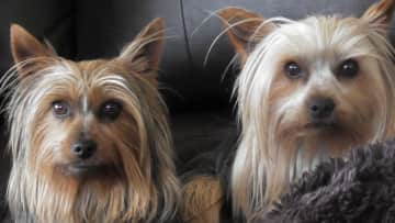House/Pet sitting these adorable terriers