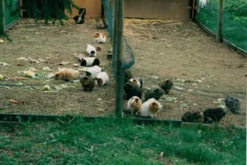 Our guinea pig colony - left the men, right the girls. Believe me ... it's better this way !!