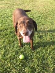 Nola loves fetching balls
