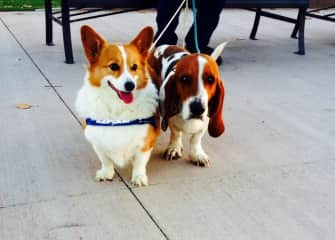 Our corgi (recently passed) and basset