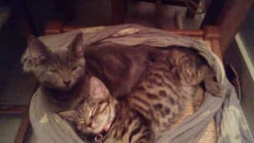 Coco-grey one and Mila - Tabby
