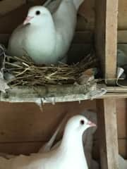 2 doves - The father sitting on eggs and the mother about to change shifts