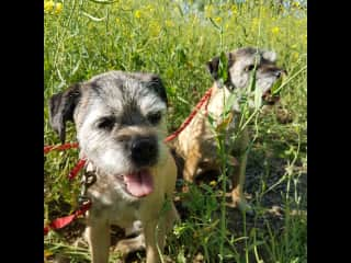Wrigley & Benji (Border Terriers), Suffolk