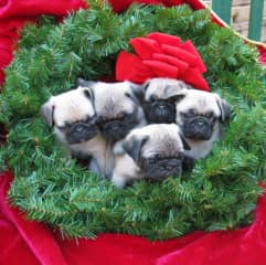 Our liter of pugs at christmas