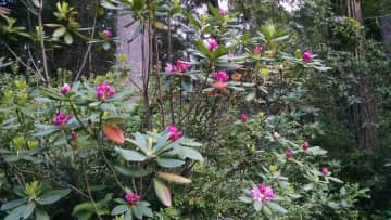 Native Rhododendron Blooms