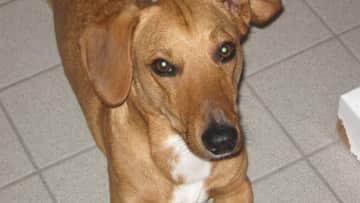 our dog Zuko, 6 years old, half dachshund and half welsh corgi