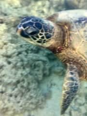 Snorkeling:  Giant Green Sea Turtles, Kauai