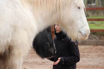 Merle working with horses