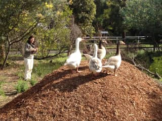 Elvira and the geese