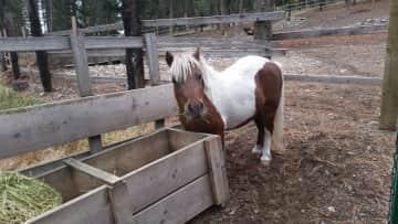 This precious mini horse is Pony ❤