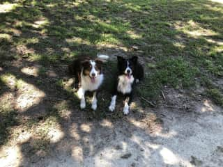 Goose 4yrs (Choc Tri) & Marley 7yrs (Black & white)