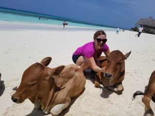 free cows in Sansibar at the beautiful beach