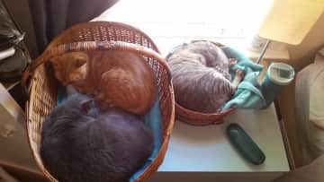 Gusi, Thisbe, and Gulliver enjoying their sleeping baskets
