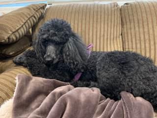 Violet on her blanket on sofa