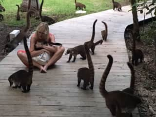 Visiting with coatis