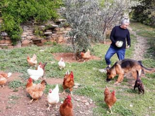 Sue and the 'Greek' chickens