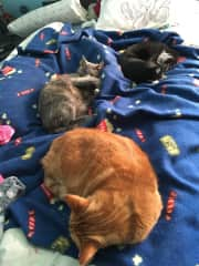 My kitties. Waffles (orange), Tux (the tux), and Squeakers (gray baby)