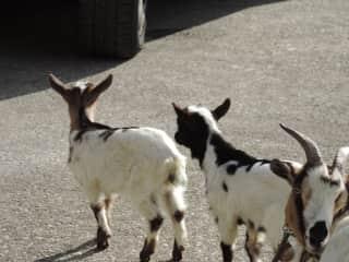 The goat family