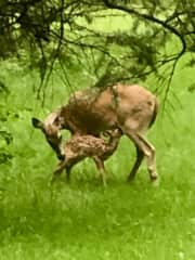 New baby deer just out in our back yard!