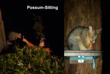 A pregnant possum in our charge