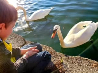 Jordan feeding the swans. They had no fear. They just came right up to us.