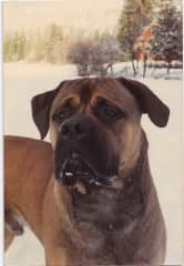 Odys our red BullMastiff in Whistler