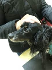Fritz my long haired miniature dachshund