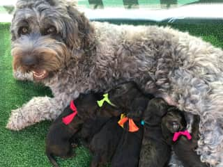 Cricket in 2017 with her puppies!