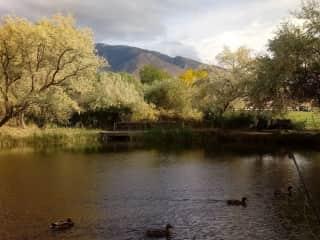Ducks on the neighborhood pond