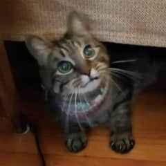 Tigger is a 11 years old rescue cat.  He has a congenital neurological condition called, cerebellum Hypoplasia.  The symptoms include quite unstable bag legs and dysphasia (eating & swallowing), which require a bit of extra cleaning.