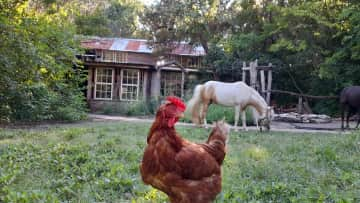 Barn with Champayne and one of our many free range chickens