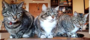 Our three cats at our UK home.