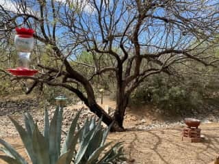 Black mesquite currently leafing out; agave and bird feeders.