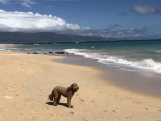 Duke at the beach!  (house and dog sit in Maui, Hawaii)