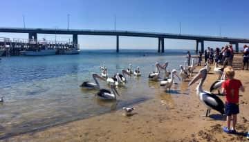 San Reno feeding pelican time