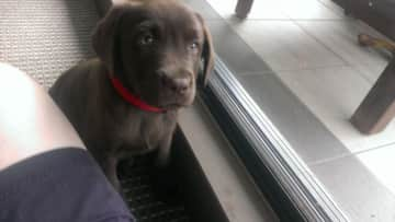 Ruby the chocolate lab