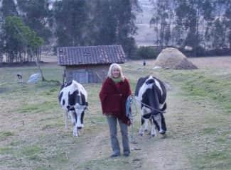 Milking cows in Ecuador