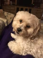 Winston, a lovable lap dog!