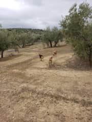Walking the olive groves in Spain