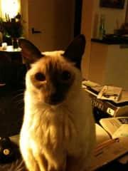 My siamese cat  (rip)