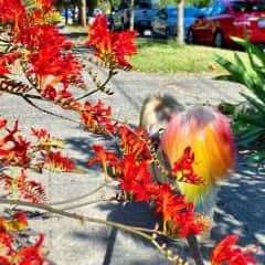 Buddy, a senior Pekingese, sported the cutest rainbow tail.